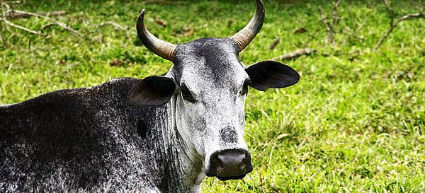 pomerode vaca