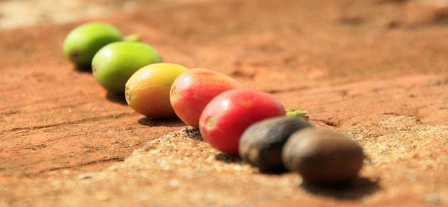Fazenda Palmeira Rora do Cafe 04