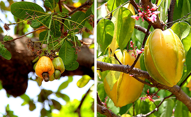 Fazenda Sao Jeronimo Ilha de Marajo Frutas