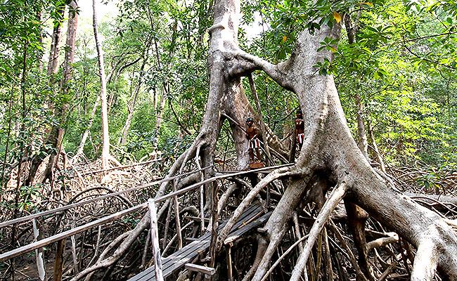Fazenda Sao Jeronimo Ilha de Marajo Mangueiros abracados