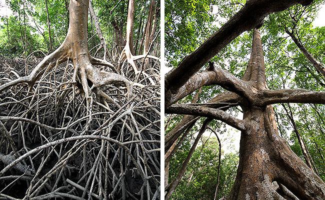 Fazenda Sao Jeronimo Ilha de Marajo Trilha Mangue