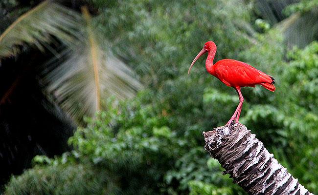 Ilha de Marajo Fazenda Guara vermelho