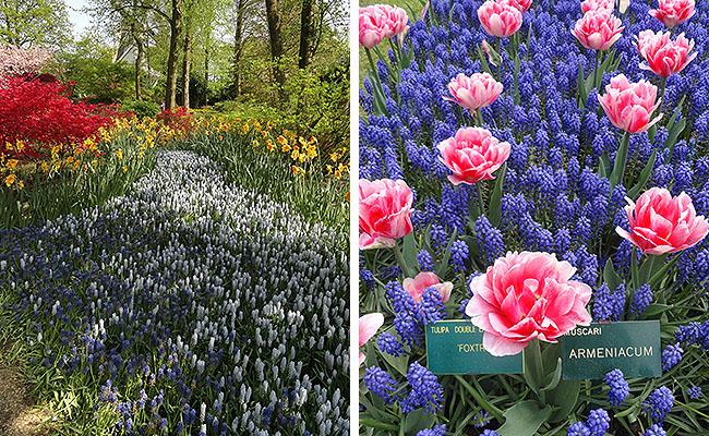 como-visitar-o-keukenhof-jardim-de-tulipas-holanda-caminhos-jacinto