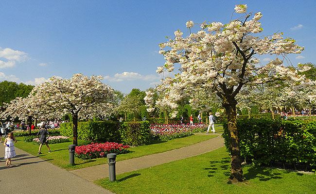como-visitar-o-keukenhof-jardim-de-tulipas-holanda-cerejeiras