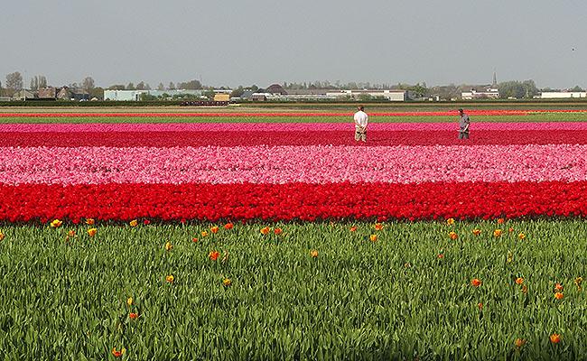 como-visitar-o-keukenhof-jardim-de-tulipas-holanda-colheita