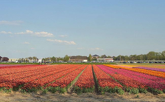 como-visitar-o-keukenhof-jardim-de-tulipas-holanda-plantacoes