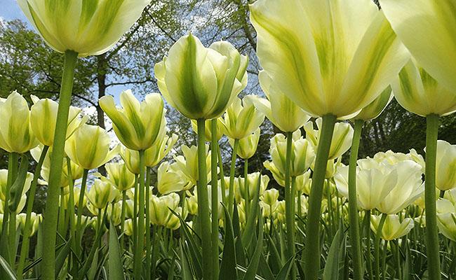 como-visitar-o-keukenhof-jardim-de-tulipas-holanda-tulipas-amarelas