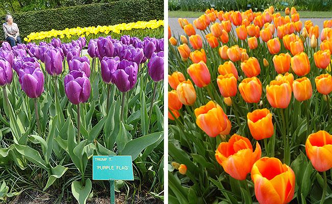 como-visitar-o-keukenhof-jardim-de-tulipas-holanda-tulipas-laranjas