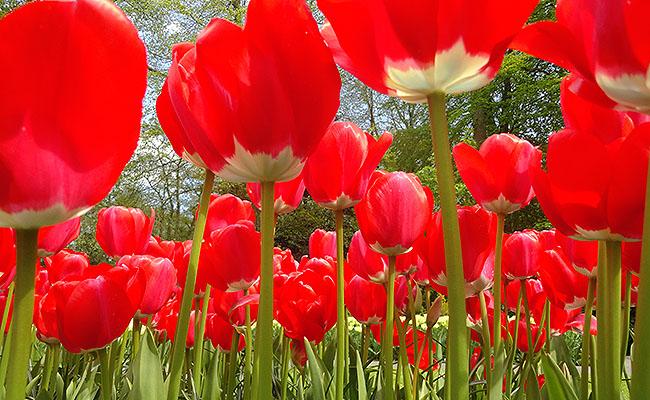 como-visitar-o-keukenhof-jardim-de-tulipas-holanda-tulipas-vermelhas