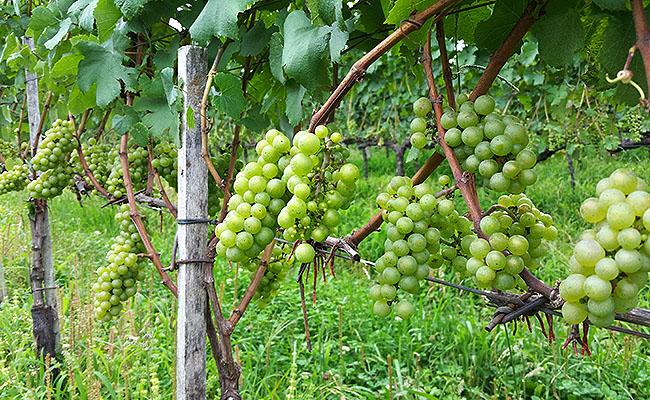 Vinicola Ravanello Gramado - uvas
