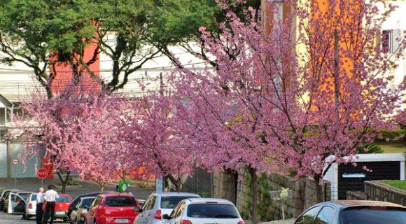 As cerejeiras de Curitiba